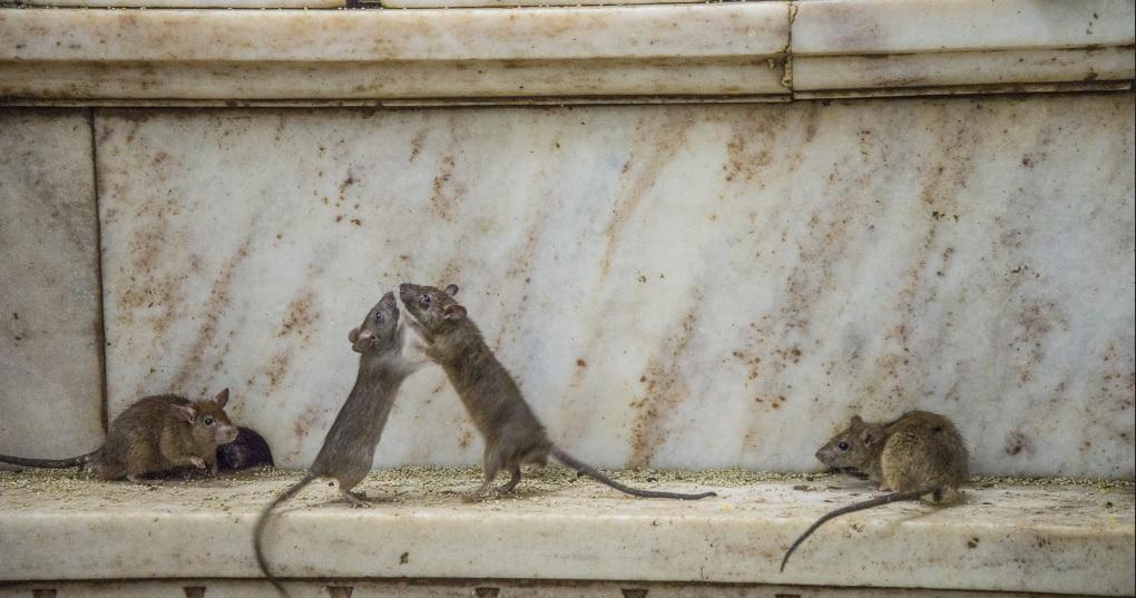 rats in karni mata temple